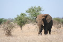 Benieuwd zijnde olifant Royalty-vrije Stock Fotografie