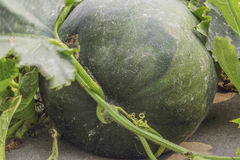 Benincasa hispida or winter melon. On floor Royalty Free Stock Photo