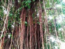 Benjamin& x27; árvore de figo de s após chover fotografia de stock