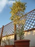 Benjamin drzewny dorośnięcie na tarasie zdjęcia royalty free