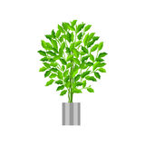 Benjamin ficus. Deciduous plant in flowerpot. House plant realistic icon for interior decoration . Coniferous plant in. Benjamin ficus. Deciduous plant in Royalty Free Stock Images