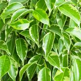 Benjamin ficus foliage Stock Photo