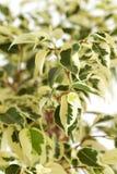 Benjamin leafs. Studio shot of Ficus Benjamin leafs - shallow DOF Stock Photos