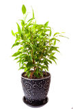 Benjamin's ficus Stock Photos