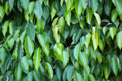 Benjamin tree leaves high resolution image Stock Photography