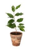 Benjamina de Ficus. Photo libre de droits