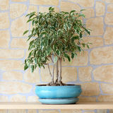 Benjamina de Ficus Images stock