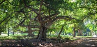 Benjamina de ficus avec de longues branches dans le jardin botanique, Kandy Photographie stock libre de droits
