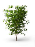Benjamina del Ficus. Albero del Java isolato Fotografie Stock