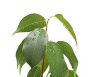 Benjamina del Ficus con i waterdrops, isolati Immagine Stock Libera da Diritti