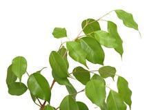 Benjamina del Ficus, isolato Immagini Stock Libere da Diritti