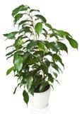 Benjamina del Ficus isolato Fotografie Stock