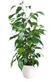 Benjamina do Ficus isolado Imagem de Stock