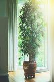 Benjamina fikusträd i gammal terrakottakruka i vardagsrum på det stora fönstret med solljus Home design Arkivfoto