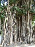 Benjaminfikus fikusträd i Bangkok Thailand arkivfoton