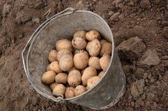Benna della patata fotografie stock