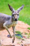 Bennet's wallaby or Red kangaroo Royalty Free Stock Photo