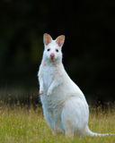 Bennets Wallaby Royalty Free Stock Photo