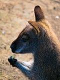 Bennett& x27;s tree-kangaroo stock photos