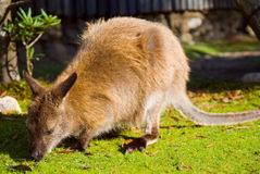Bennett's Wallaby Stock Image