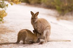 Bennett's Wallaby Stock Photo