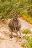 Bennett's Wallaby Royalty Free Stock Photo
