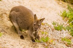Bennett's Wallaby Stock Images