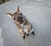 Bennett's wallaby in a funny pose Royalty Free Stock Images