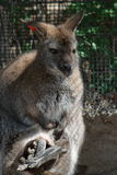 Bennett's Wallaby With Joey In Pouch Royalty Free Stock Photos