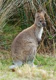 Bennett`s wallaby - Macropus rufogriseus, also red-necked wallaby, medium-sized macropod marsupial, common in eastern Australia,. Tasmania, introduced to New royalty free stock photo