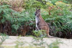 Bennett´s wallaby - Macropus rufogriseus, also red-necked wallaby, medium-sized macropod marsupial, common in eastern Australia,. Tasmania, introduced to New stock image