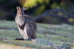 Bennett´s wallaby - Macropus rufogriseus, also red-necked wallaby, medium-sized macropod marsupial, common in eastern Australia,. Tasmania, introduced to New stock photography