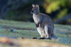 Bennett´s wallaby - Macropus rufogriseus, also red-necked wallaby, medium-sized macropod marsupial, common in eastern Australia,. Tasmania, introduced to New royalty free stock images