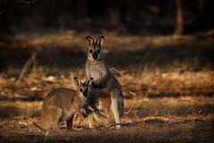 Bennett`s wallaby - Macropus rufogriseus - red-necked wallaby medium-sized macropod marsupial. Common in the more temperate parts of eastern Australia stock image