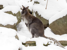 Bennett`s wallaby, Macropus rufogriseus is surprised by snow Royalty Free Stock Photography
