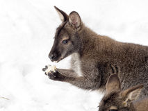 Bennett`s wallaby, Macropus rufogriseus is surprised by snow Stock Image