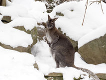 Bennett`s wallaby, Macropus rufogriseus is surprised by snow Stock Photography