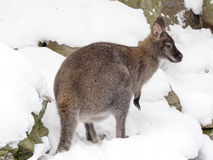 Bennett`s wallaby, Macropus rufogriseus is surprised by snow Stock Images
