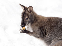 Bennett`s wallaby, Macropus rufogriseus is surprised by snow Stock Photos