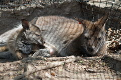 Bennett's Wallaby Momma And Baby Stock Photography