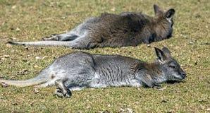 Bennett ` s wallaby na gazonie Obrazy Stock
