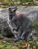 Bennett ` s wallaby na gazonie fotografia stock