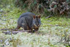 Bennett's Wallaby, Tasmania. A Bennett's wallaby sitting in grass; location Tasmania, Australia royalty free stock photography