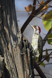 Bennett's Woodpecker in Kruger National park Stock Image