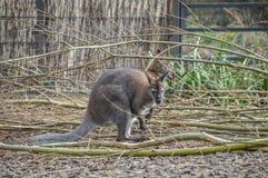 Bennett Wallaby στο ζωολογικό κήπο Άμστερνταμ Artis οι Κάτω Χώρες Στοκ εικόνες με δικαίωμα ελεύθερης χρήσης