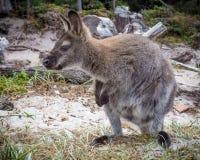 Bennett wallaby obraz stock
