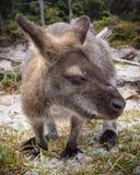 Bennett wallaby fotografia stock