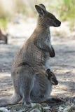 Bennett Wallaby, Australia Stock Image