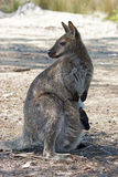 Bennett Wallaby, Australia Stock Photography