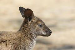 Bennett Wallaby, Australie photos stock